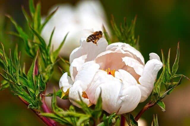 Bee flying avobe peony