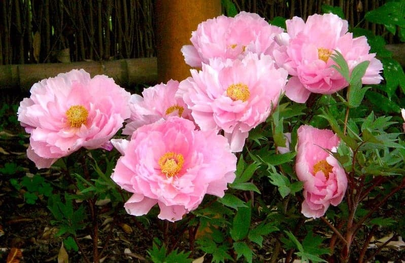 Planting-Peony-in-Spring