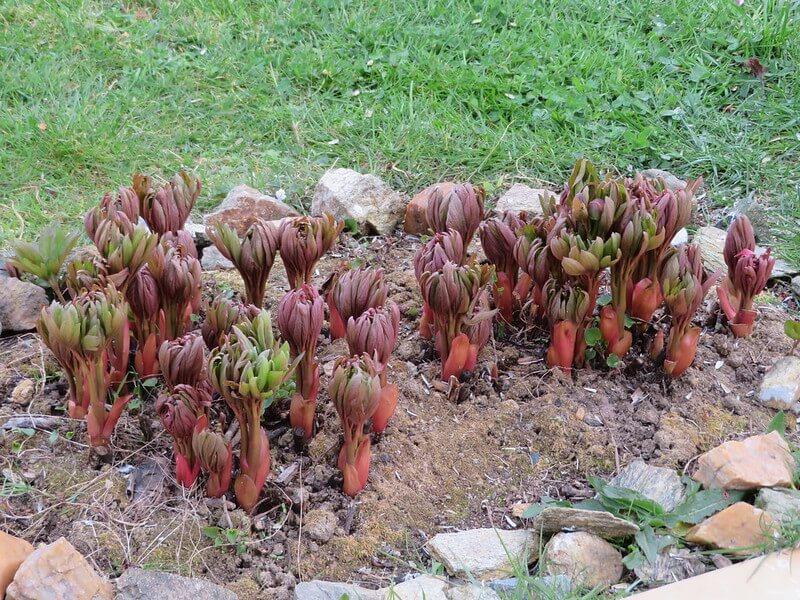 Planting peony in soil