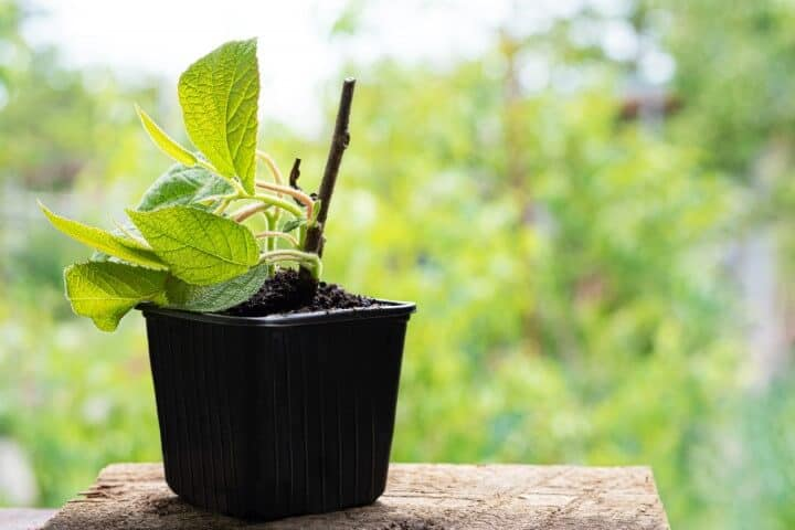 peony-plant-seedling-plastic-pot-with-natural-soil