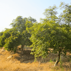 Sun requirement for avocado tree FI