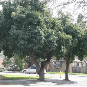 avocado tree size FI 1