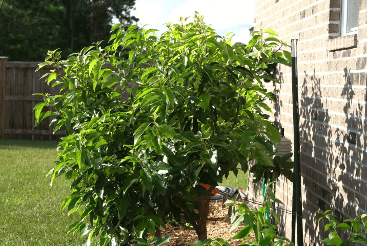 grown avocado tree on sunlight