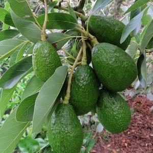 Avocado tree bear fruit FI