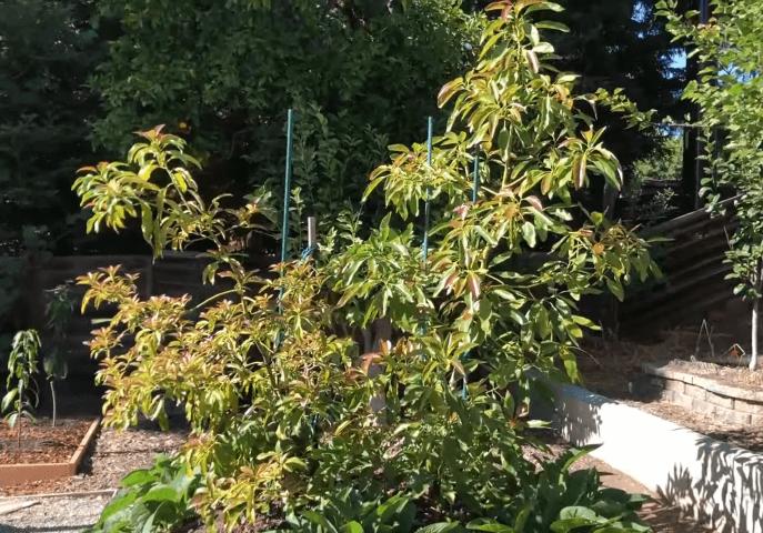 fresh avocado tree