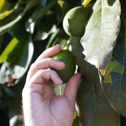 picking avocado from tree FI