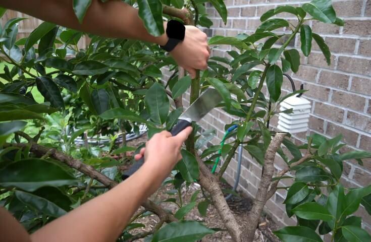 pruning avocado tree