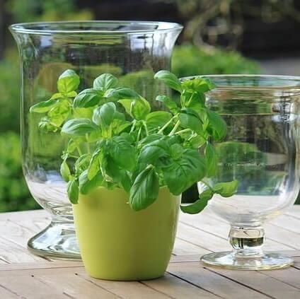 Basil plant indoor FI