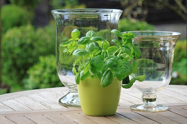 Basil plant indoor