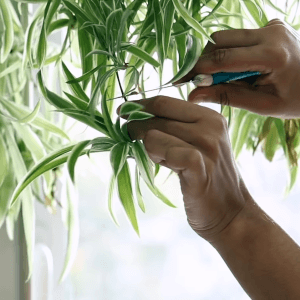 Pruning spider plant FI
