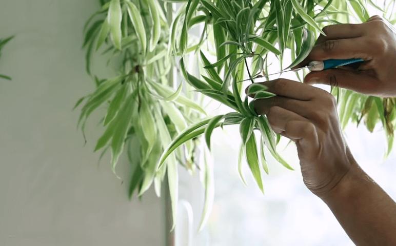 Pruning spider plant